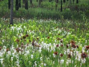 pitcherplants2