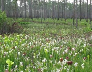 pitcherplants3