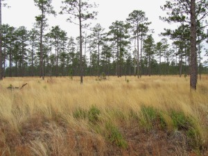 Wiregrass-Longleaf Pine community. Old Martin Road, 020311 BRSF, FL(1)
