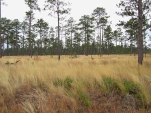 Wiregrass-Longleaf Pine community. Old Martin Road, 020311 BRSF, FL(1)